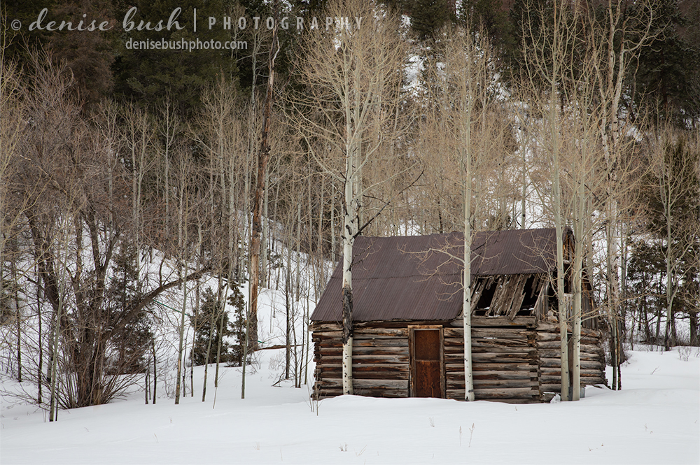 Some aspen trees grow right up alongside and old cabin ... perhaps helping to hold it up!