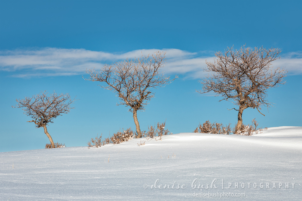 Three gambel oaks are a frequent subject for this photographer ... in all kinds of seasons and at sunset and sunrise.