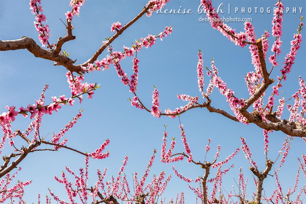 Peach blossoms against the sky create a striking design.