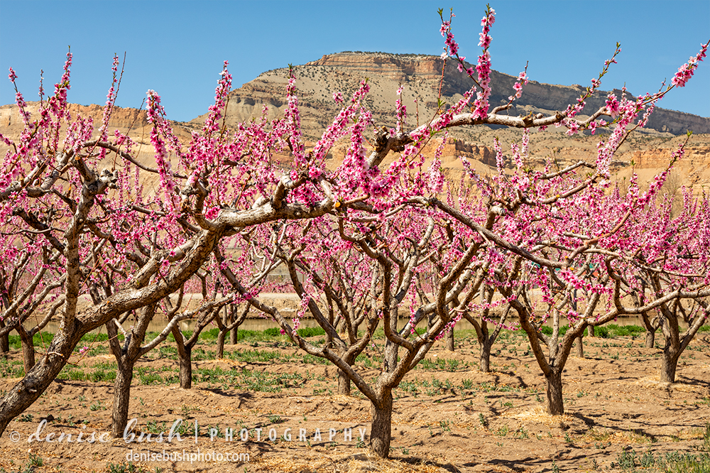 A peach orchard glows bright pink in spring.