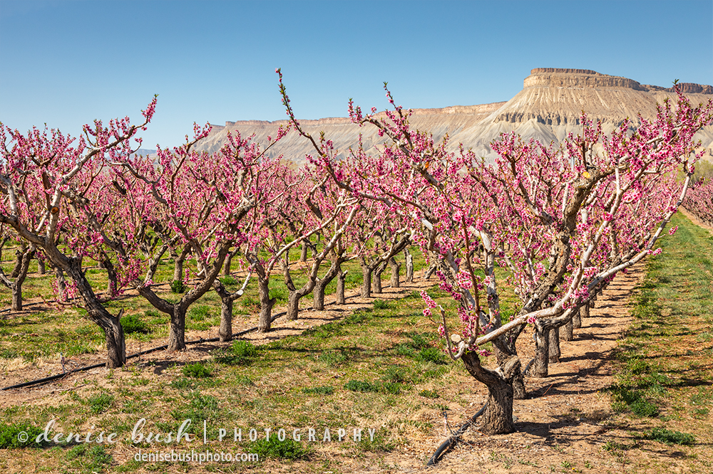 Mount Garfield makes a striking background for a peach orchard in bloom in Palisade.