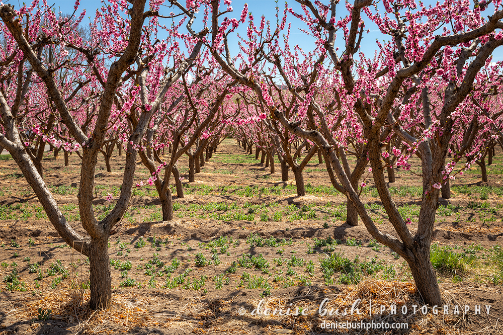 Rows of peach trees look beautiful with their bright spring blossoms.