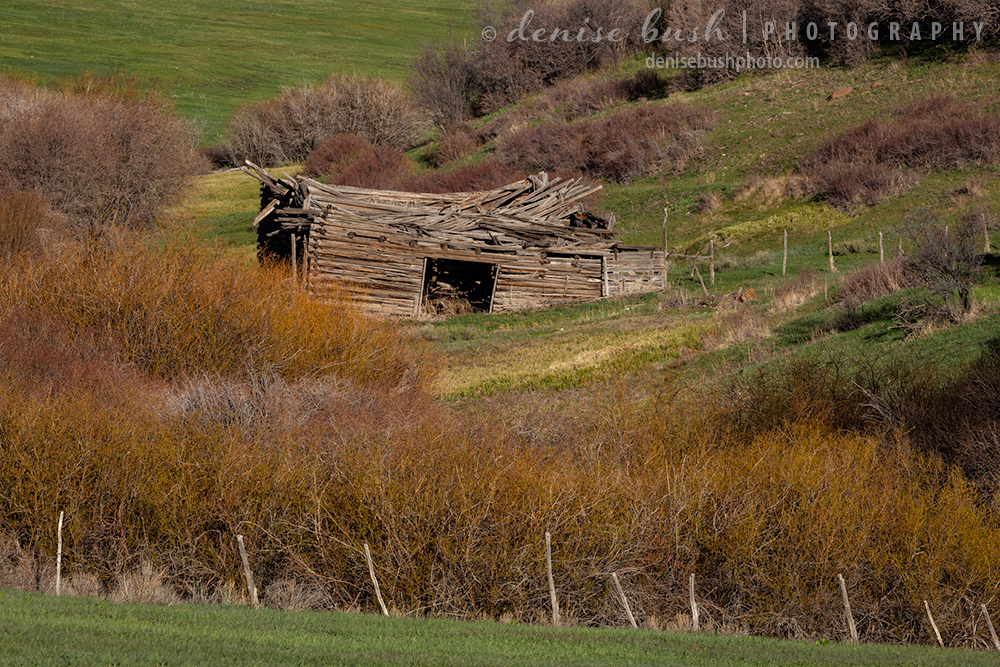 A barn no longer strong enough collapses under years of harsh winters and strong summer sun.
