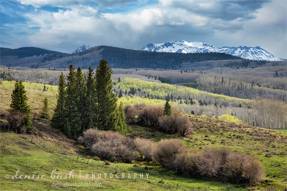 The forest starts its annual spring tradition showing the first bright green aspen leaves.