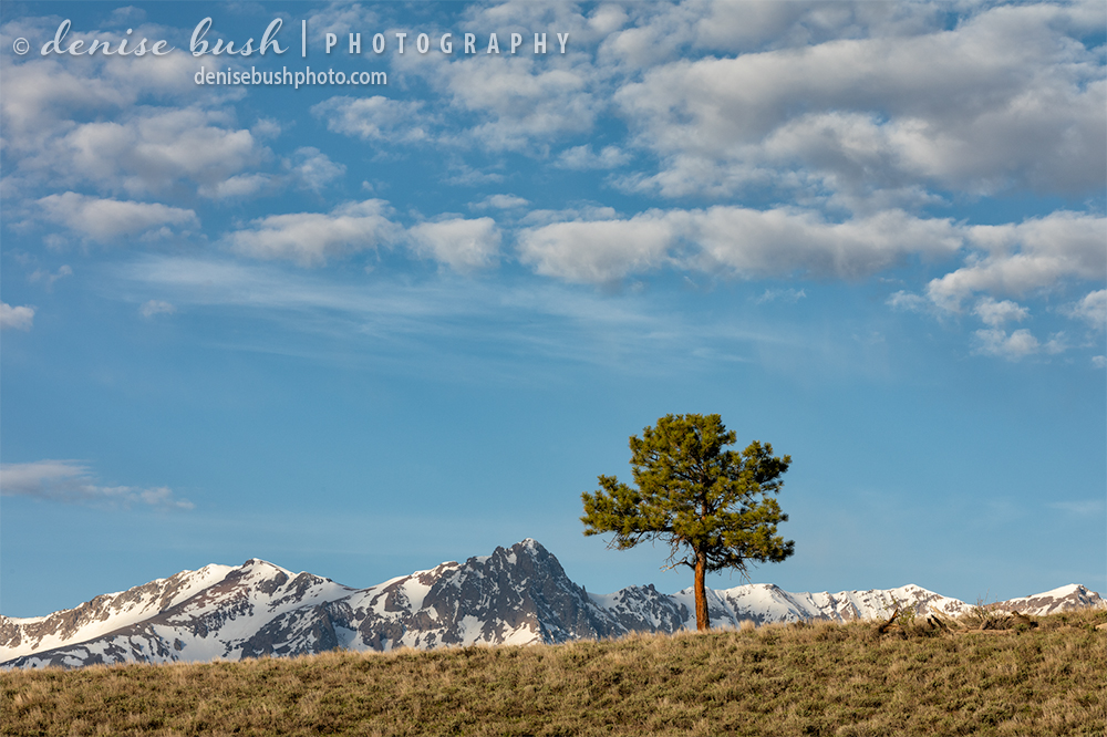 A little lone ponderosa pine tree has a perfect view, perched upon a sunny hill!