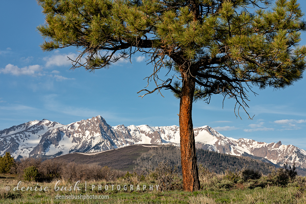 A small Ponderosa Pine catches some warm light on a mountain morning in May.