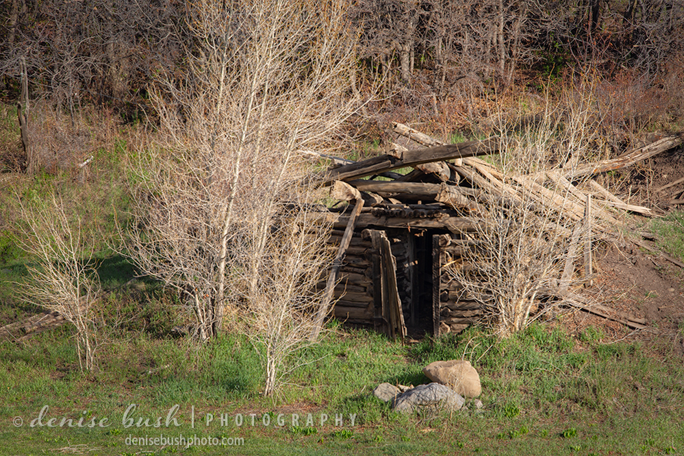 An old log cabin falls apart amid new aspen trees in spring.
