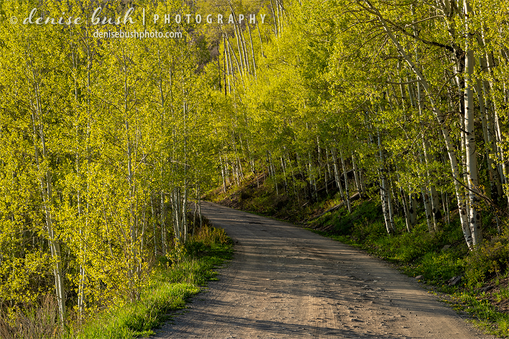 Late day backlight brings out the yellows in the young aspen leaves.