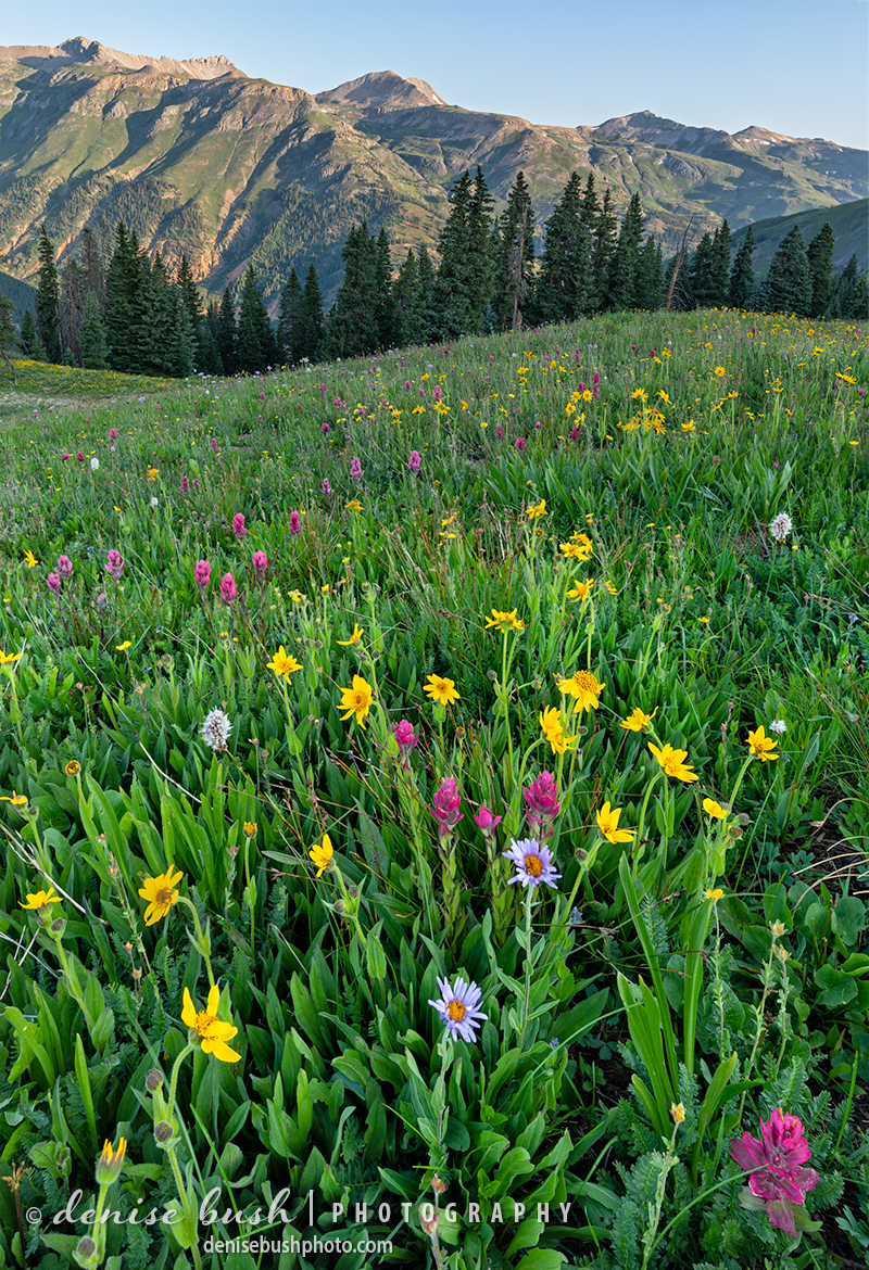 Here's a good look at how we find many of the wilflower meadows in the mountains of Colorado.