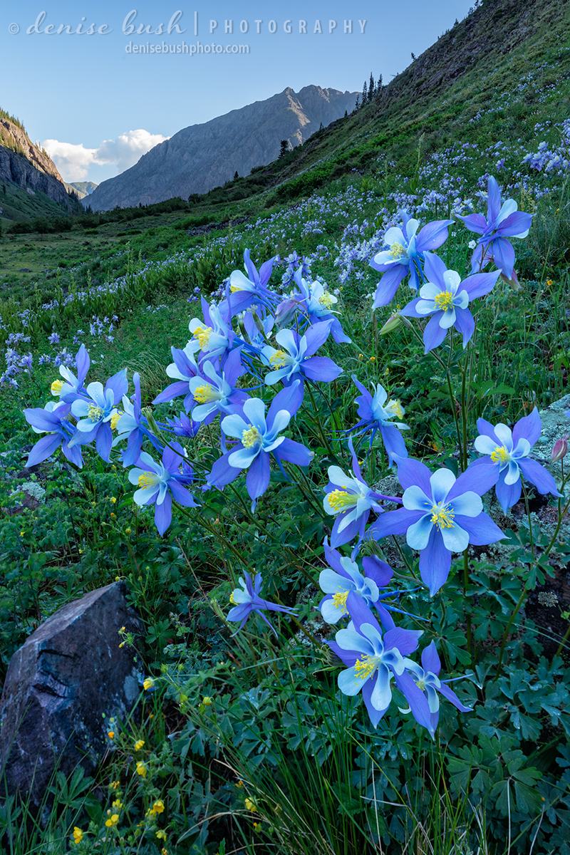 Dawn arrives to great Columbine, awakening with the early soft light.