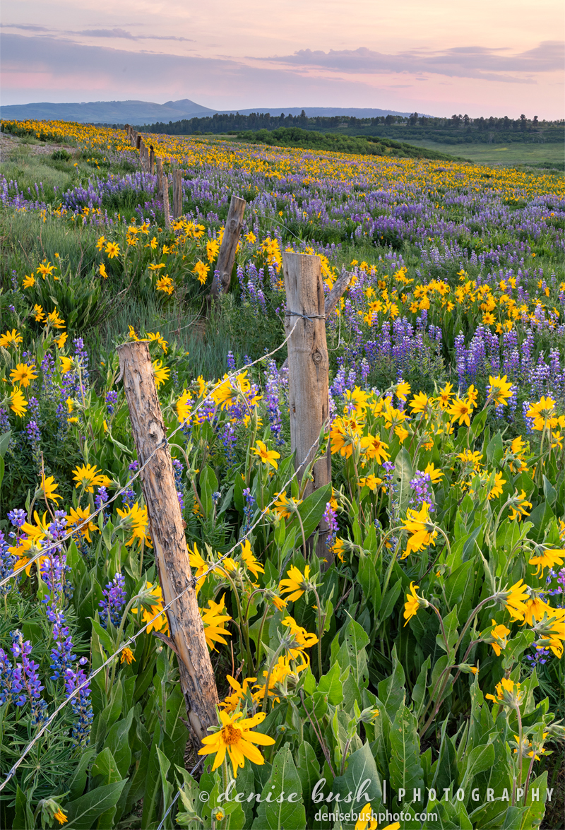 Lupine and Mule's Ears grow along a fence line in Ouray County Colorado.