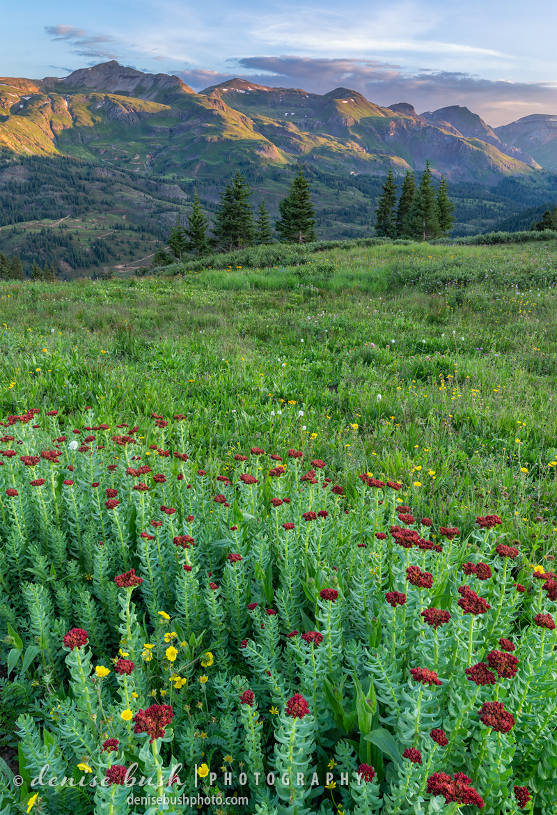 The hills are aline in San Juan County, Colorado with displays of wildflowers including this King's Crown.