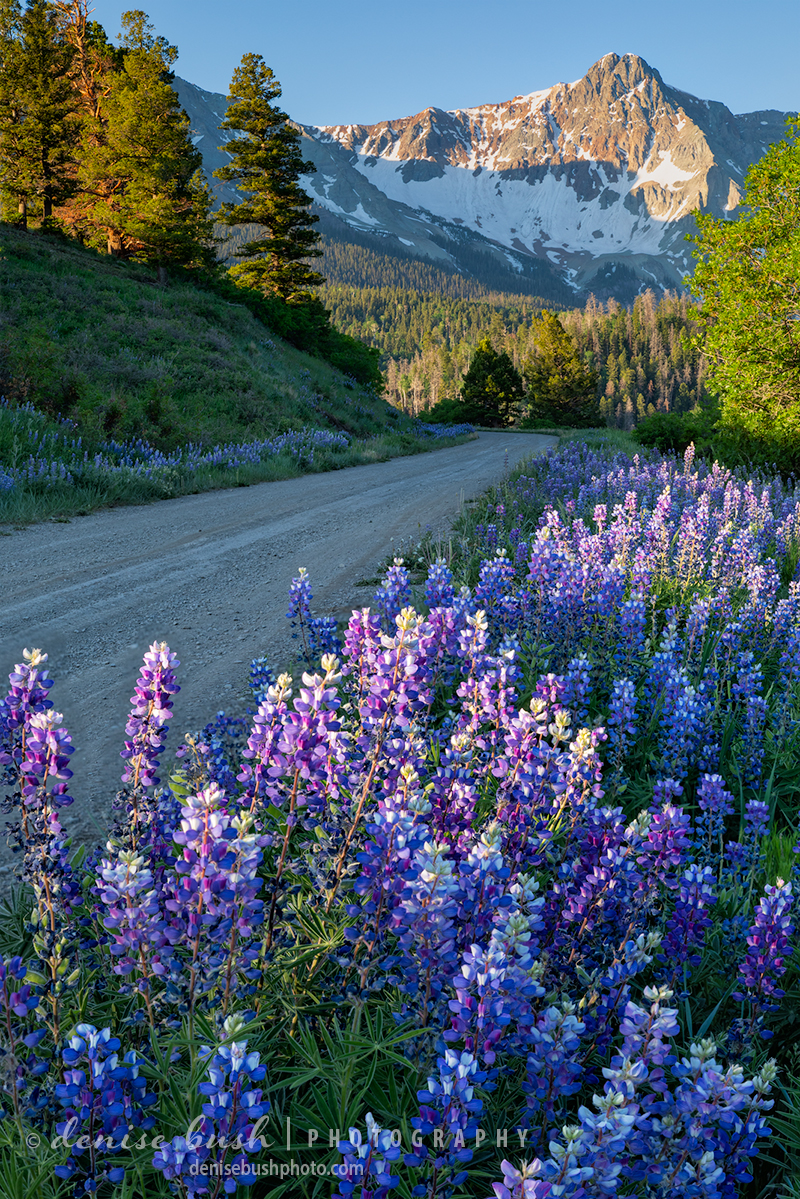 Lupine line a back mountain road in the San Juan Mountains.