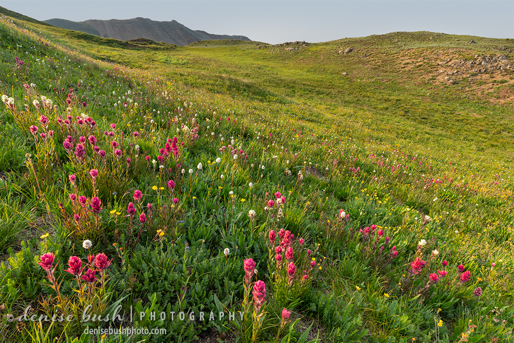 Pink Paintbrush wildflowers like this spot, way uo high in a Colorado mountain basin.