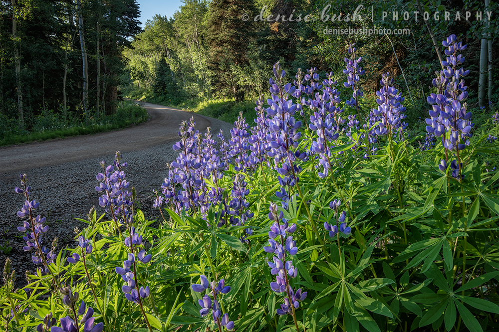 A patch of lupine bloom along a mountain road, inviting a longer look.