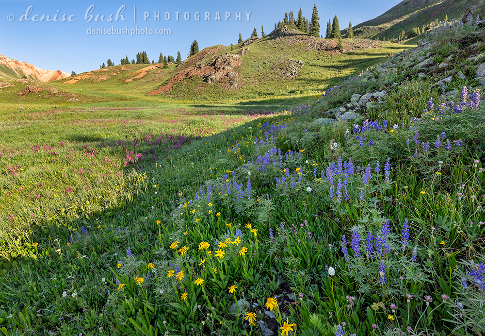 Sneezeweed and lupine combine on a hill for a pretty combination of yellow and purple. Elephant's head provides a pink accent on the left.