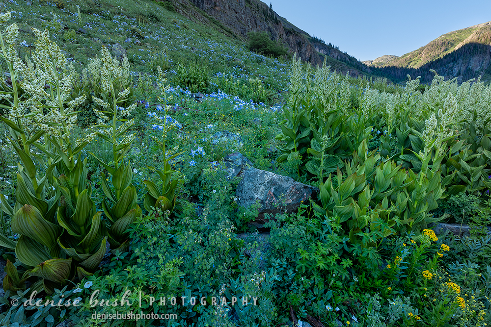 Elkweed is also known as Green Gentian or Monument Plant. It can grow up to 7 feet tall!