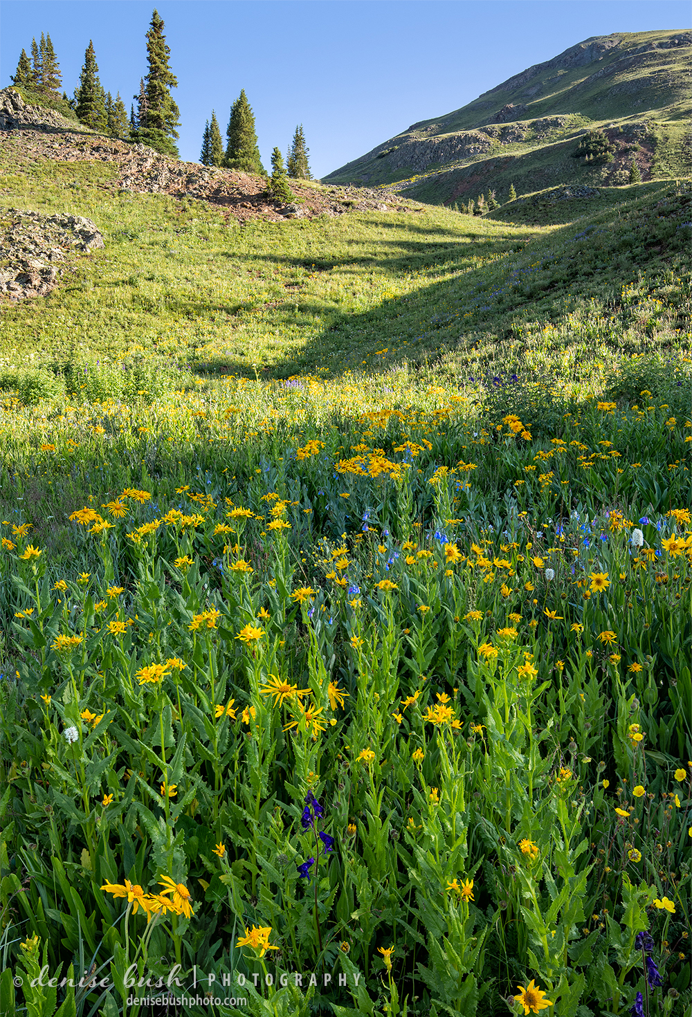 A pretty patch of Sneezeweed (Asteraceae) makes a bright statement in a Colorado alpine meadow in July.