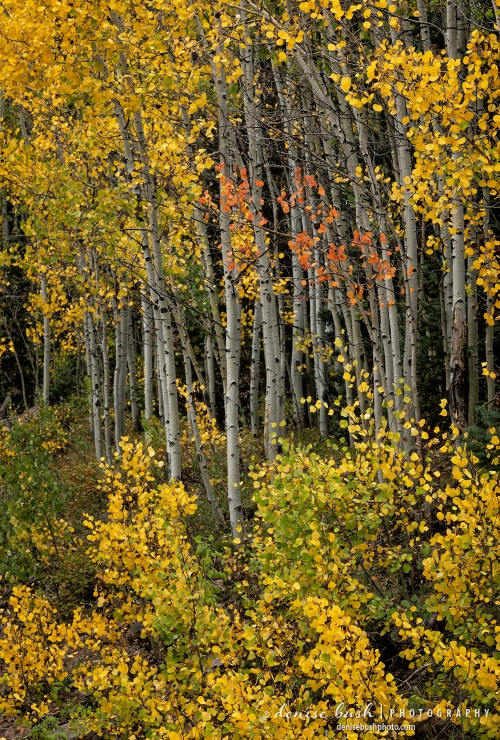 A few orange aspen leaves add an accent to the yellow!