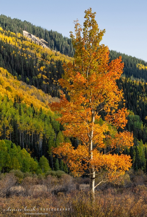 Orange aspen leaves help a lone aspen tree standout against the background slope.