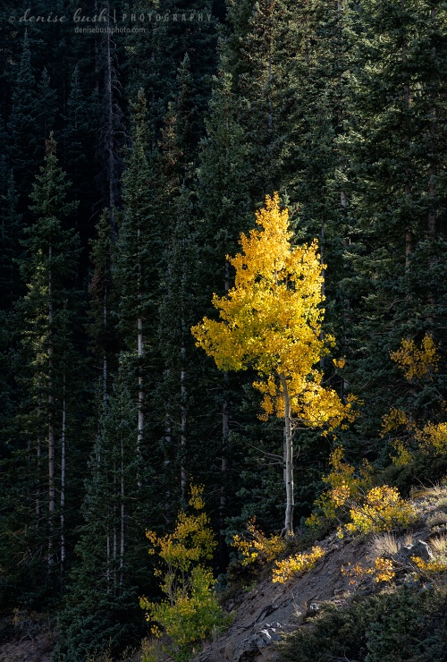 A young aspen tree says 'look at me' in all its autumn glory!