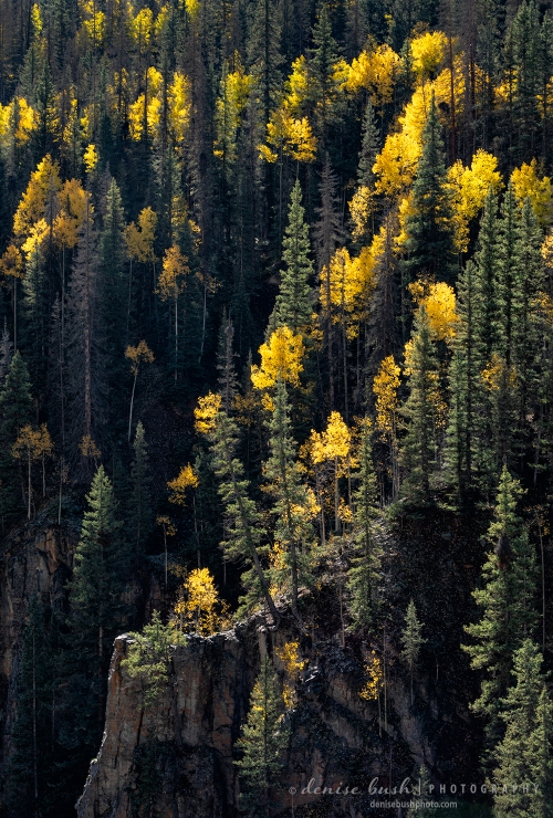 Aspen trees mingle with spruce while catching the light on the side of a cliff.