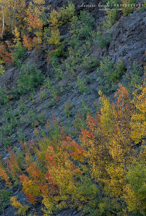 Young aspen sprouts create a beautiful array of fall color against the dark, blue-grey rock.