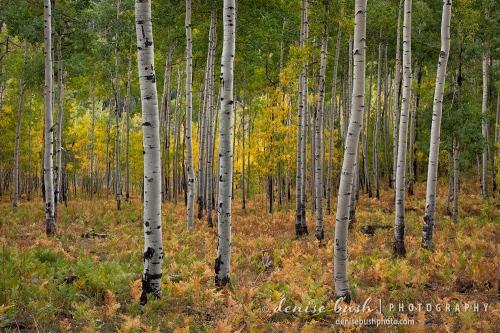 Ferns beneath tall aspens create a pretty early autumn scene.