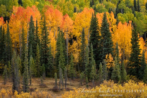 A group of aspens look like flames ... orange and red and fiery!