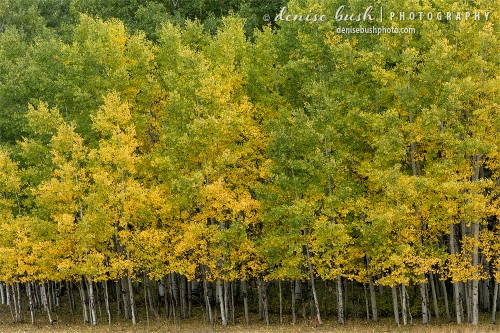 Younger aspens often have foliage lower on their trunks. Here, in a uniform row, they make a unique design.