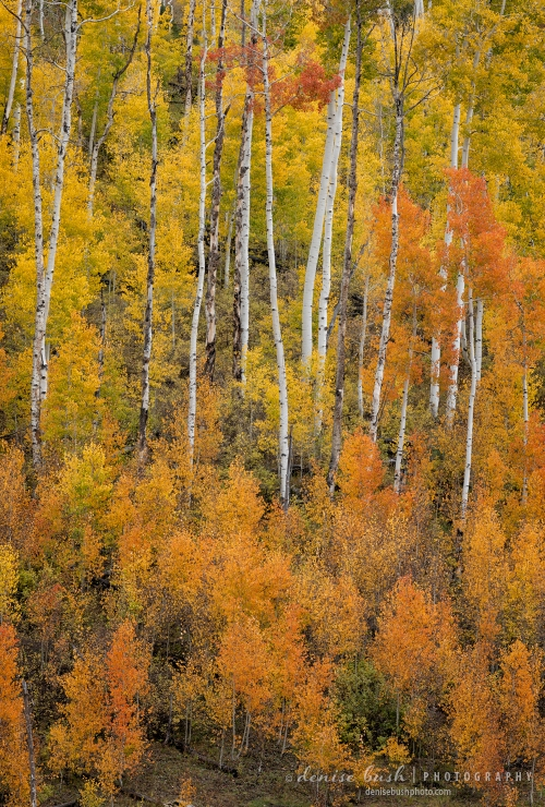 Tall aspen trees display a beautiful gradient from orange to yellow
