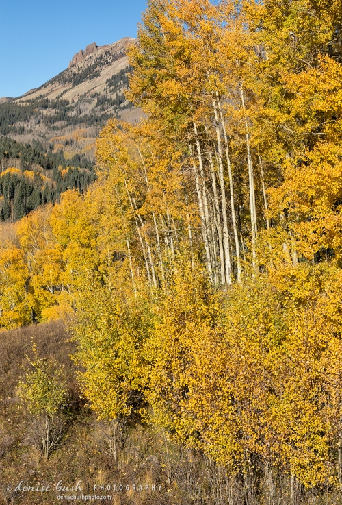 Golden aspens set the stage for an autumn scene with a distan outcropping.
