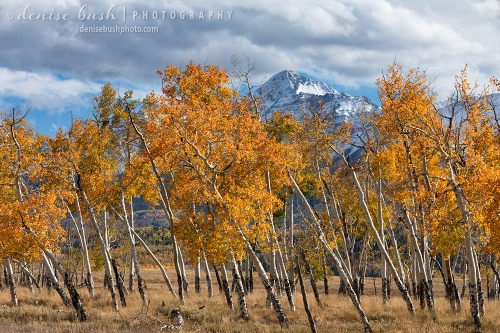 Wilson Peak, near Telluride Colorado, peeks out above some autumn, leaning aspen trees.