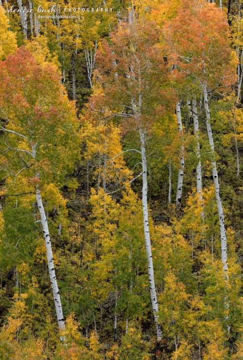 Leaning, bright white trunks and colorful foliage are the theme of this aspen image.