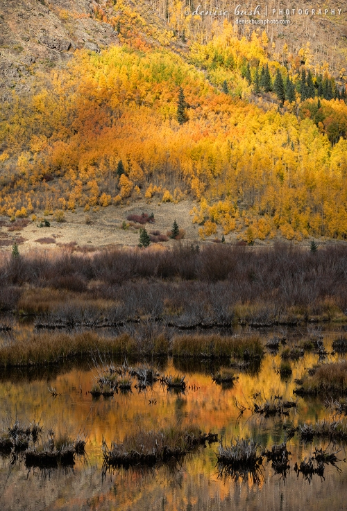 A slope of aspen trees is reflected in a wetland area, creating a different view of autumn.